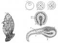 Sea Squirt