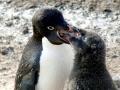 Adélie Penguin