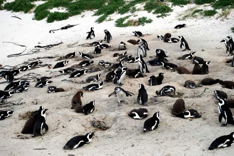 the background of the small african penguin The african penguin is declining in population two penguins are standing by the water colony of king penguins in bluff cove king penguin - aptenodytes patagonicus - colony of king penguins in bluff cove, falkland islands penguins animal argentina patagonia.