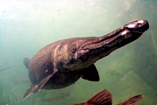 AlligatorGar