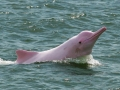 Amazon Pink River Dolphin