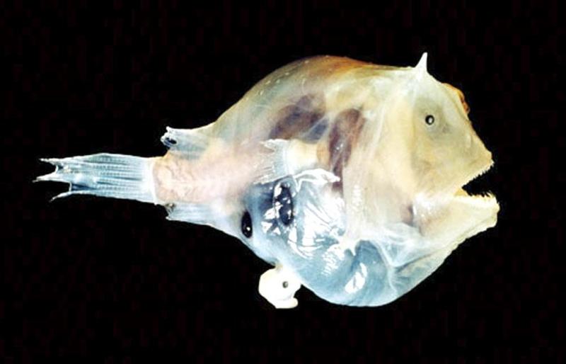 angler fish mating - photo #13