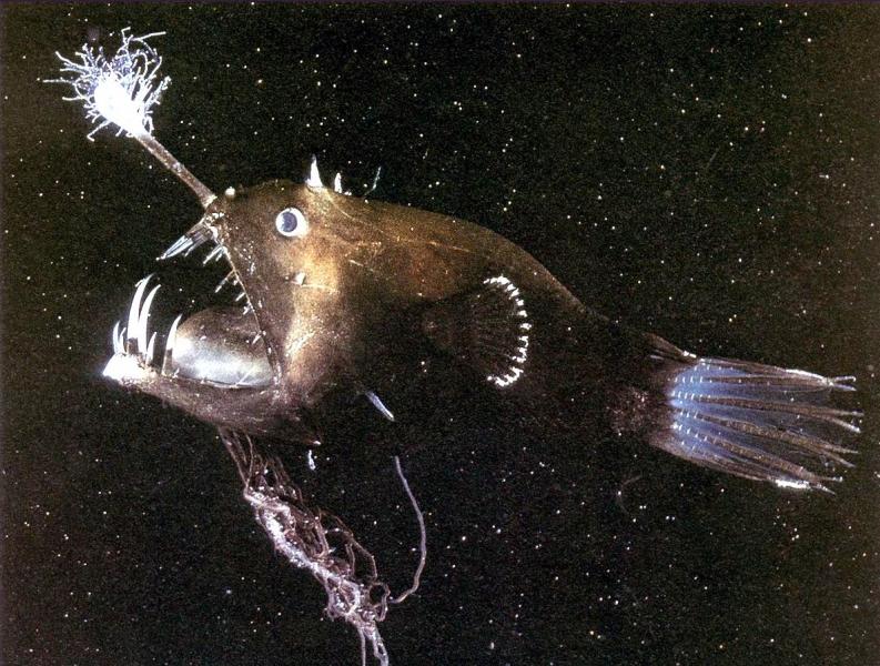 Anglerfish ocean treasures memorial library for Angler fish size