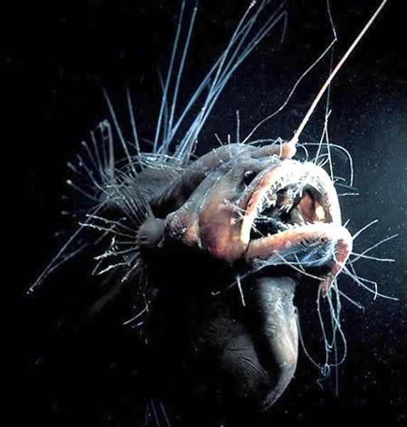 angler fish mating - photo #10