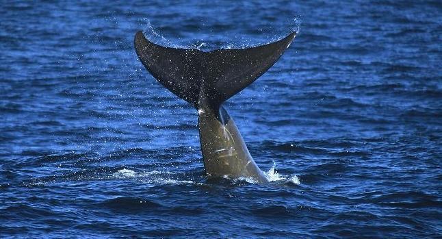 Arnoux's Beaked Whale
