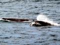 Arnoux's Beaked Whale