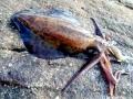 Arrow Squid