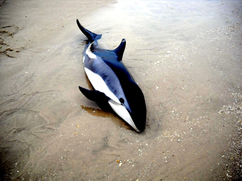 Atlantic White-sided Dolphin