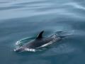 Atlantic-white-sided-dolphin