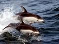 Atlantic White-sided Dolphin