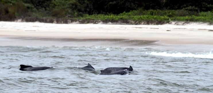 Atlantic Hump-backed Dolphin