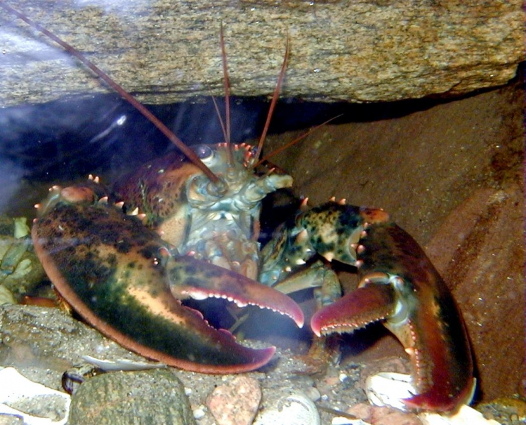 "Atlantic Lobster – ""OCEAN TREASURES"" Memorial Library"