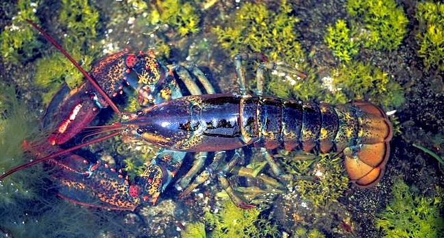 Atlantic Lobster Quot Ocean Treasures Quot Memorial Library