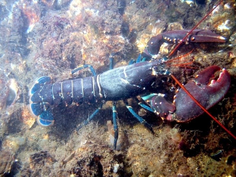 Lobster Underwater Atlantic Lobste...