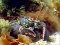 Atlantic Lobster