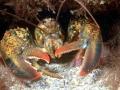 Atlantic Lobster