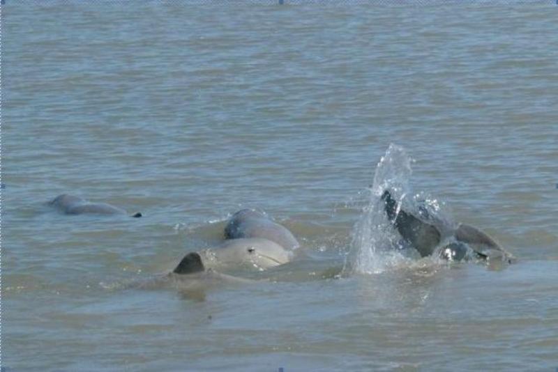 Australian snubfin dolphin - photo#9