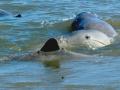 Australian Snubfin Dolphin