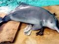 Yangtze River Dolphin