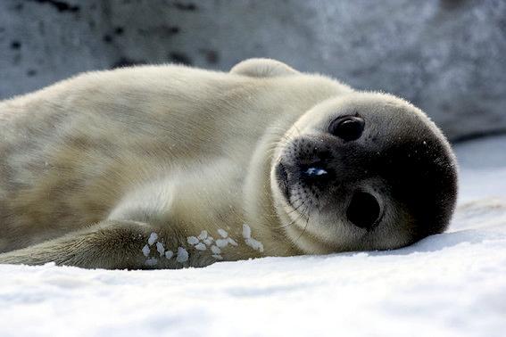 Baikal Seal