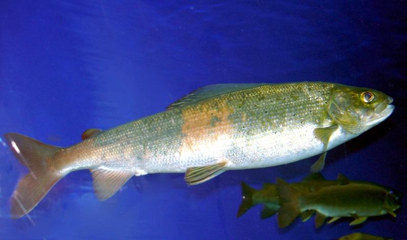 Baikal Oilfish