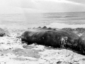 Baird's Beaked Whale