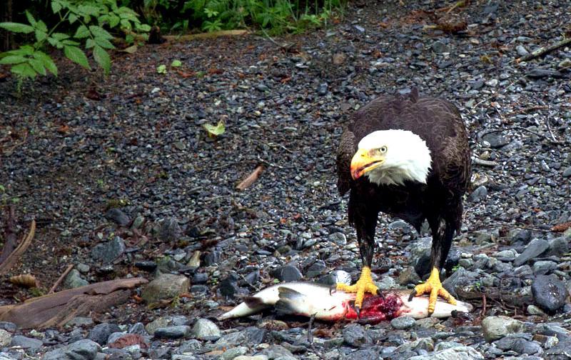 20140729-eagle_eating_salmon-1
