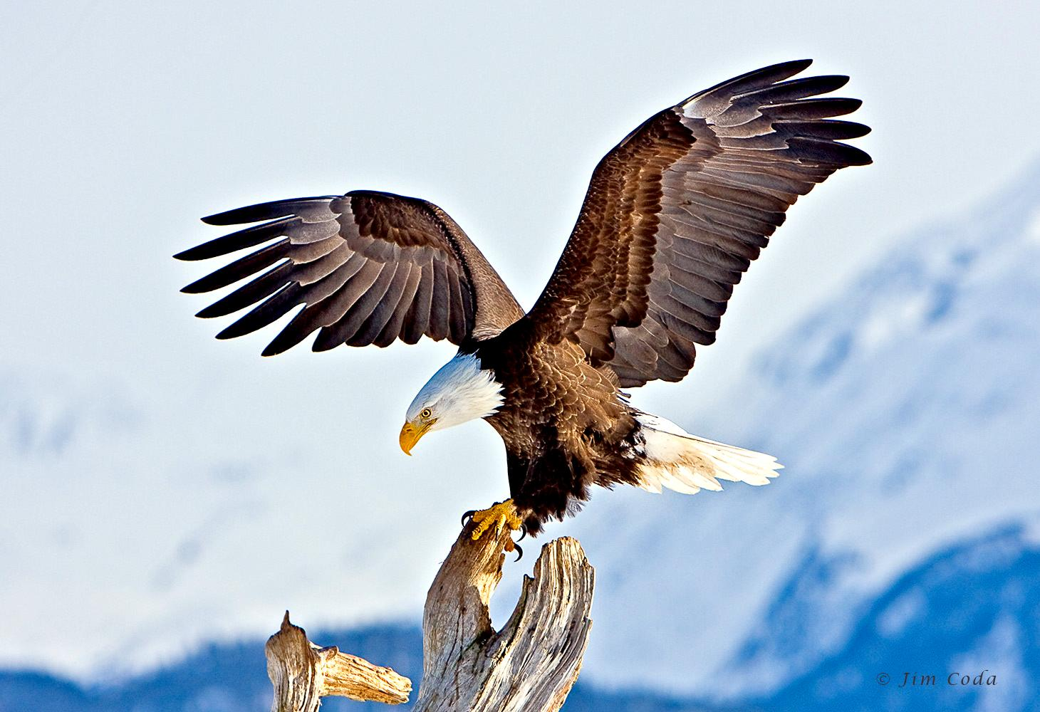 562_1_mg_3327_bald_eagle_homer_alaska