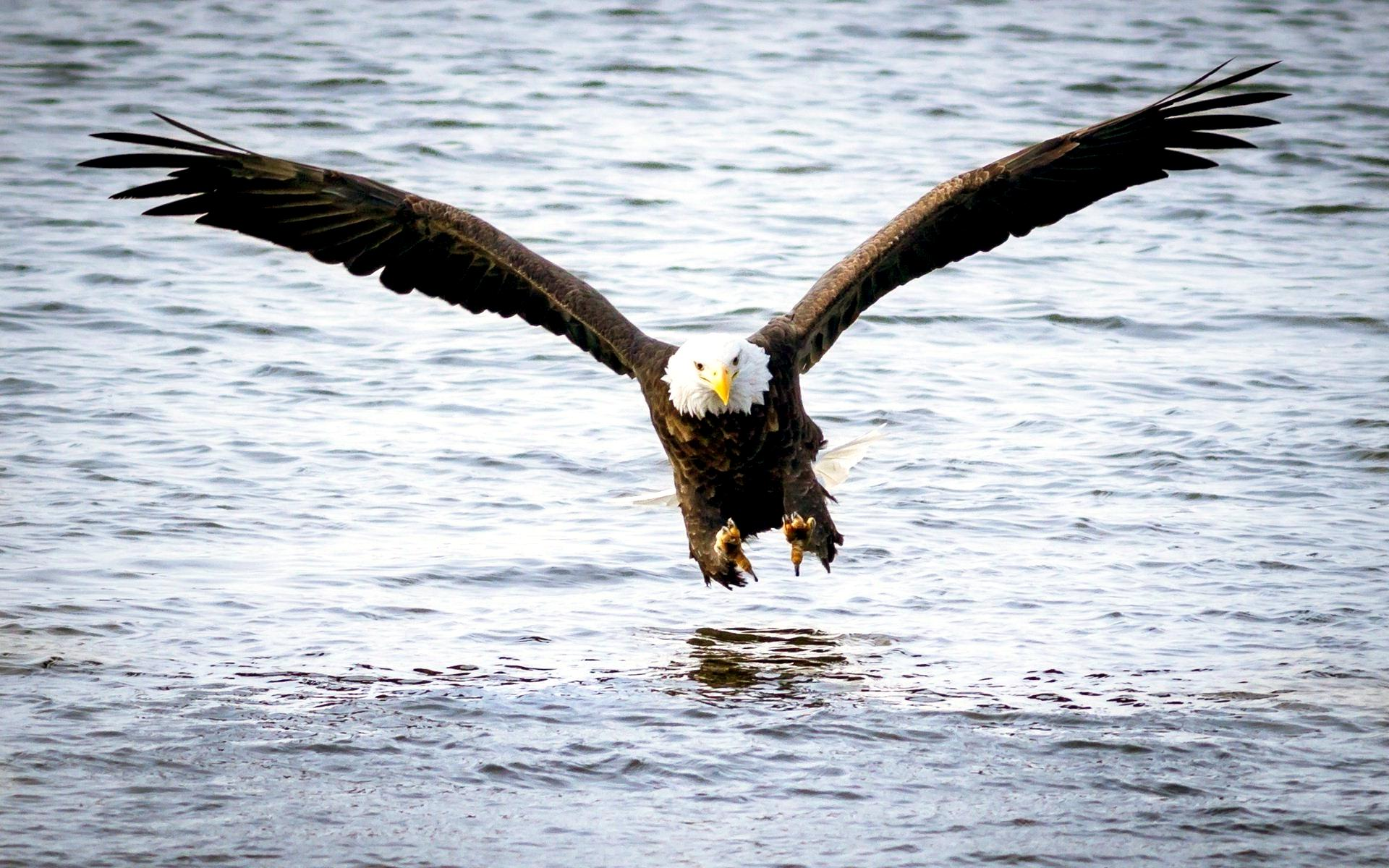 744617-bald-eagle-pictures