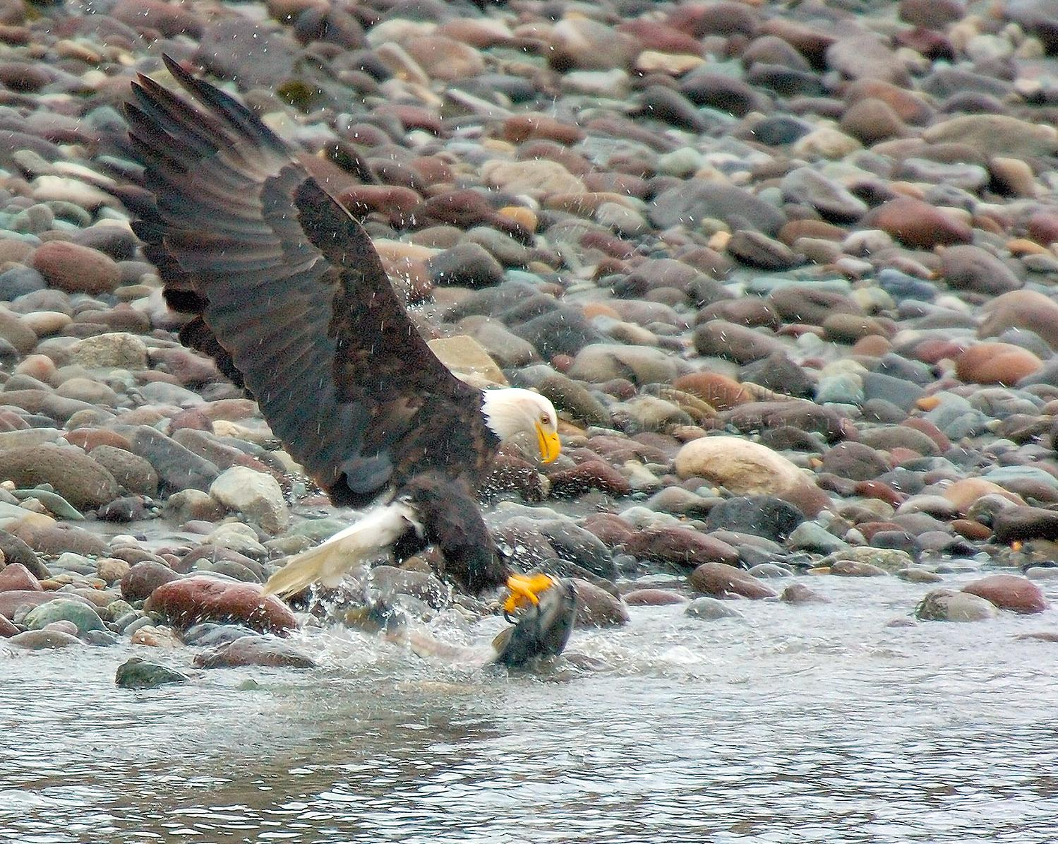 BaldEagle_withSalmon_8611M