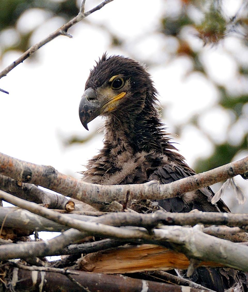 baby-bald-eagle-sits-in-nest-with-branches