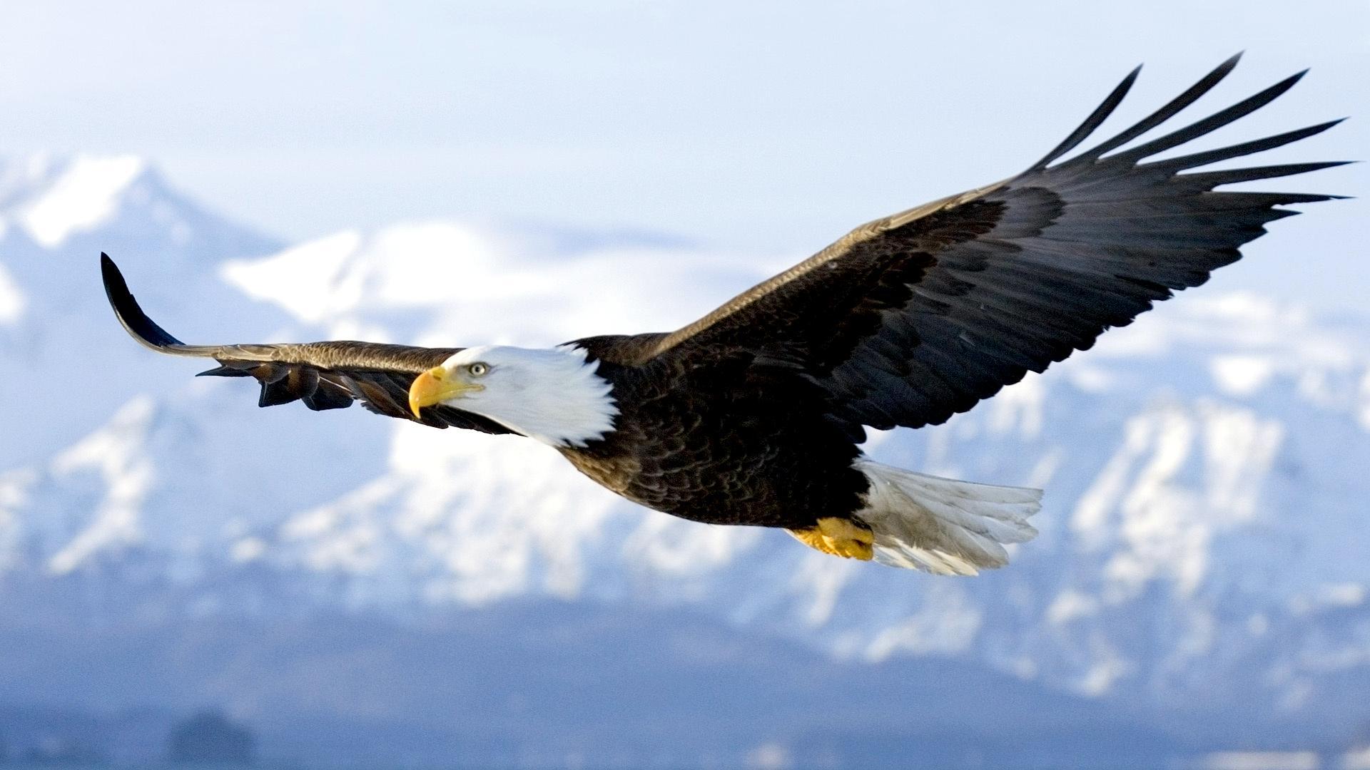 bald-eagle (1)