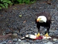 20140729-eagle_eating_salmon-1