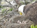 635552124442476855-1226-Baby-eagles-and-parent