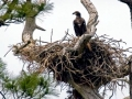 American Bald Eagle - Baby_ Osprey Trail_ Honeymoon Island_ FL