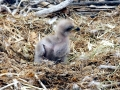 Baby Eagle copy