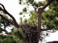 Baby_Bald_Eagle_in_nest