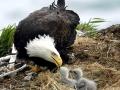 Bald_Eagle_HBE