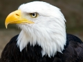 Bald_Eagle_Head_2_(6021915997)