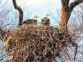 Bald_Eagle_Nest_xgaplus