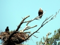 Bald_Eagle_guarding_its_nest_(5924277825)