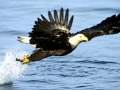alaska eagles fishing bald eagles 1920x1080 wallpaper_www.wallpaperhi.com_10