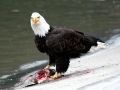 Bald Eagle