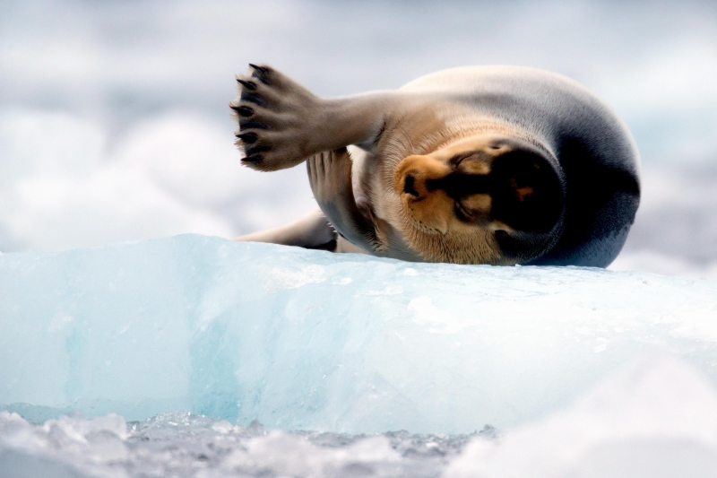 bearded-seal-1.jpg
