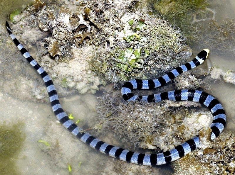 Belcher's Sea Snake