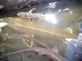 Beluga Sturgeon