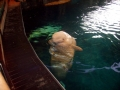Beluga Whale