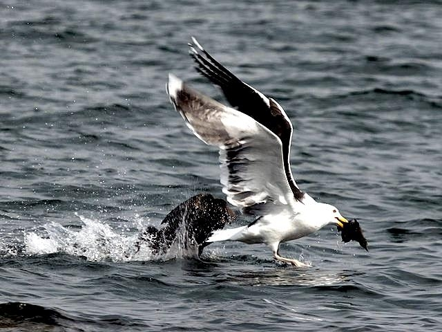 Black-backed Seagull
