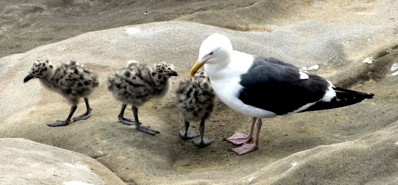 Baby seagulls bigger than adults