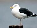Black-backed Seagull